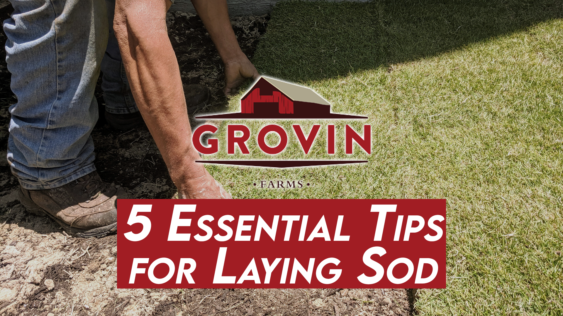 Tips for laying sod, bahiagrass sod, sod farms near Ocala, bahia sod, St. Augustine sod, sod installation | Grovin Farms, FL
